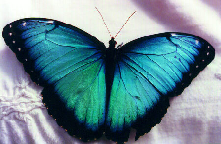 Butterfly Genus Species - Blue Morpho