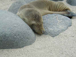 calif_sea_lion.jpg (105691 bytes)