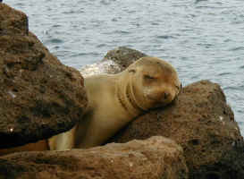 cute_sea_lion.jpg (73309 bytes)