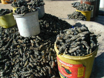 http://www.questconnect.org/images/mopani_worms.jpg