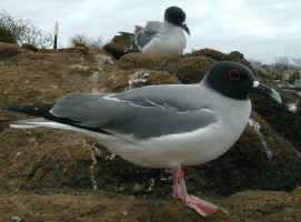 swallow_tail_gull.jpg (70922 bytes)