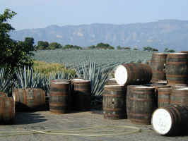 tequila_agave_fields.jpg (62735 bytes)